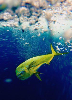 Mahi_Fishing